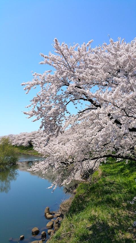20170424太平川沿いの桜愛宕下橋5