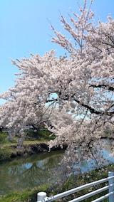 20170424太平川沿いの桜愛宕下橋14