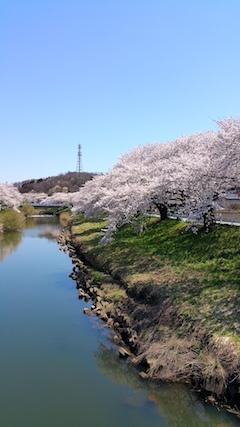20170424太平川沿いの桜愛宕下橋7