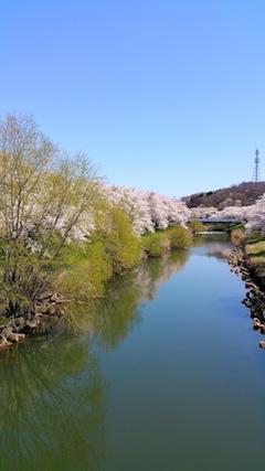 20170424太平川沿いの桜愛宕下橋6