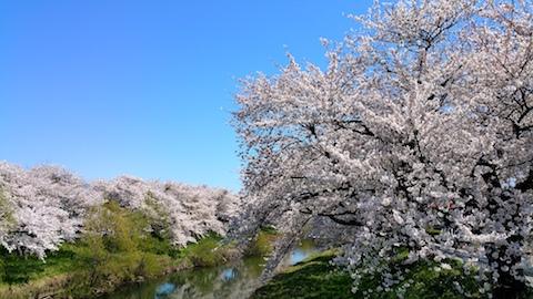 20170424太平川沿いの桜愛宕下橋10