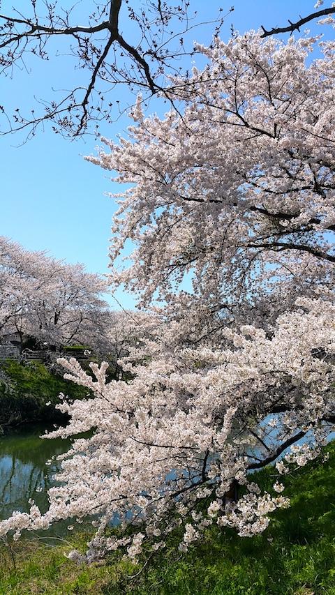 20170424太平川沿いの桜愛宕下橋13
