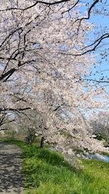 20170424太平川沿いの桜楢山1