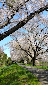 20170424太平川沿いの桜楢山2