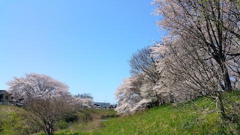 20170424太平川沿いの桜楢山3