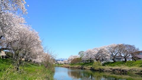 20170424太平川沿いの桜楢山4