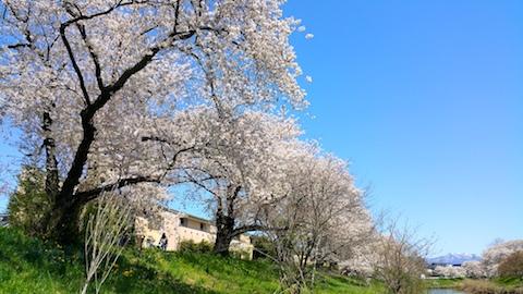 20170424太平川沿いの桜楢山6