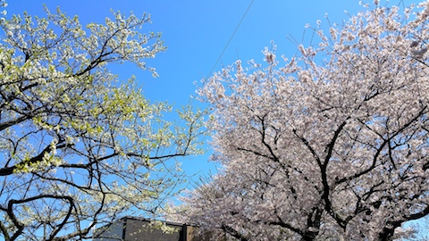 20170424太平川沿いの桜楢山9