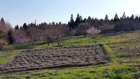 20170424ラベンダー畑の様子2