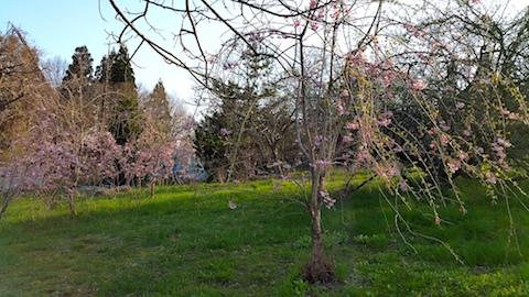 20170424山の様子八重紅枝垂れ桜