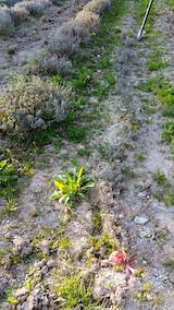 20170424ラベンダーの苗木を掘り起こす作業1