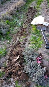 20170424ラベンダーの苗木を掘り起こす作業2