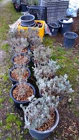 20170424掘り起こしたラベンダーを鉢植えへ移植2