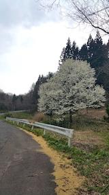 20170425山へ向かう途中の様子峠道のコブシの花
