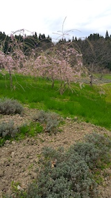 20170425八重紅枝垂れ桜のある斜面の様子