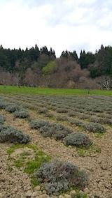 20170425ラベンダーの畑