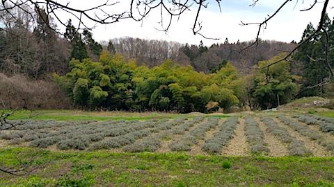 20170425ラベンダー畑の様子2