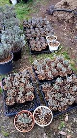 20170425掘り起こしたラベンダーの苗木をポットへ移植2