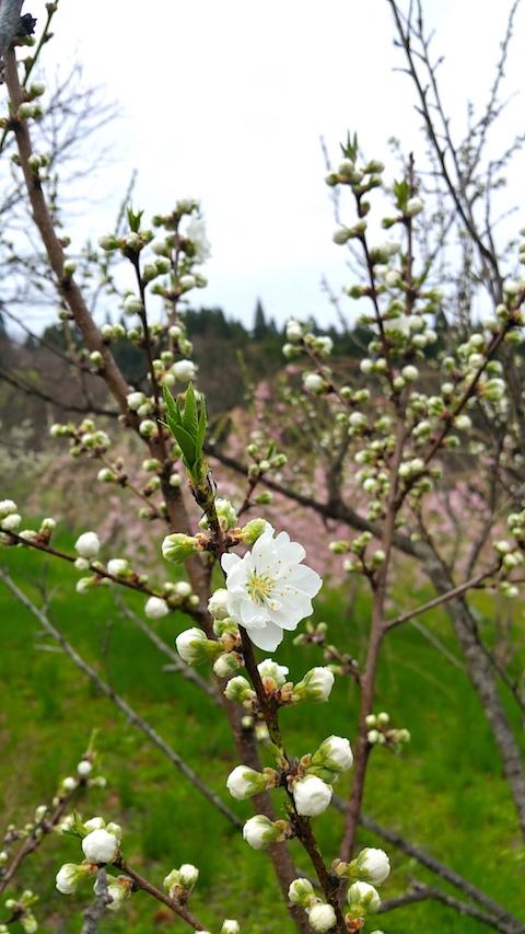 20170425山の様子花桃の花