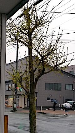 20170426穀雨の頃イチョウの葉が芽吹く2