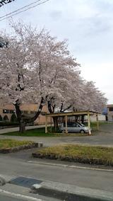 20170429新庄の桜2