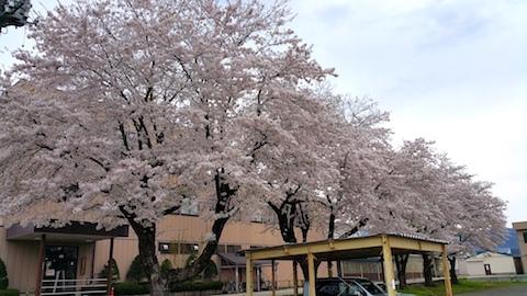 20170429新庄の桜1