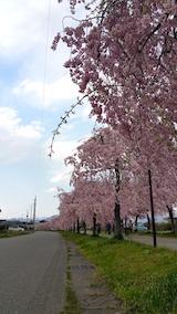 20170429喜多方市日中線のしだれ桜8