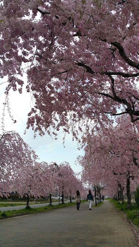 20170429喜多方市日中線のしだれ桜2