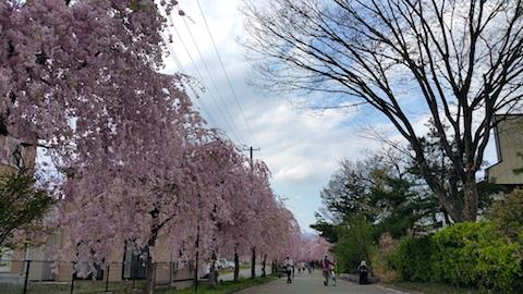 20170429喜多方市日中線のしだれ桜3