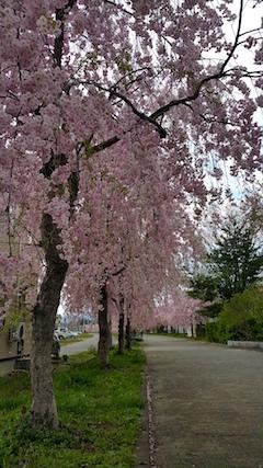 20170429喜多方市日中線のしだれ桜5