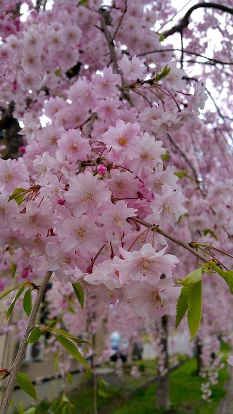20170429喜多方市日中線のしだれ桜6