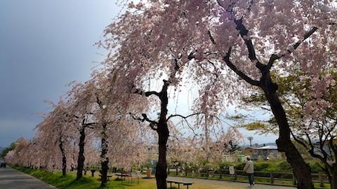 20170429喜多方市日中線のしだれ桜10