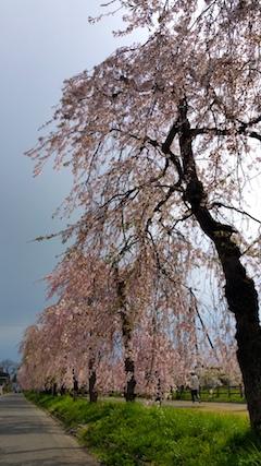 20170429喜多方市日中線のしだれ桜11