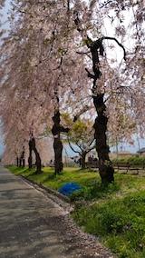 20170429喜多方市日中線のしだれ桜14