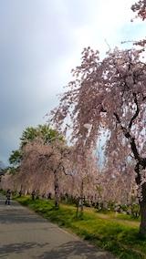 20170429喜多方市日中線のしだれ桜15