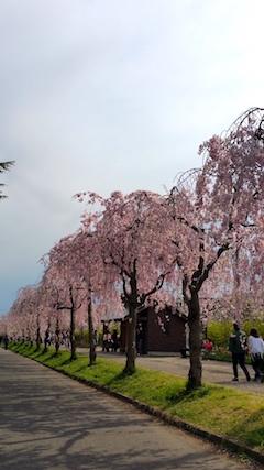 20170429喜多方市日中線のしだれ桜12