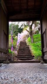 20170429会津坂下町杉の糸桜2
