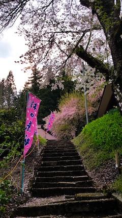 20170429会津坂下町杉の糸桜3
