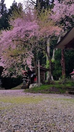 20170429会津坂下町杉の糸桜4