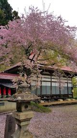 20170429会津坂下町杉の糸桜10