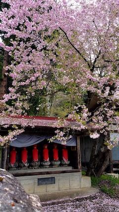 20170429会津坂下町杉の糸桜5