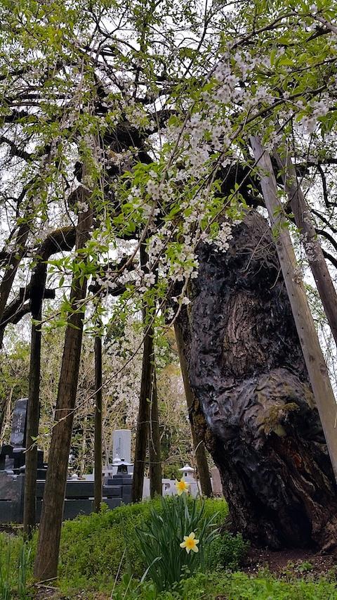 20170429会津坂下町杉の糸桜7