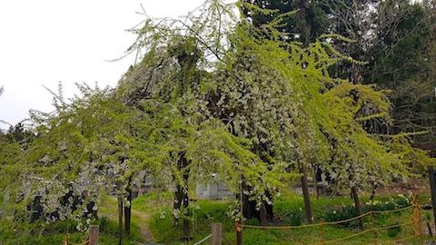 20170429会津坂下町杉の糸桜8