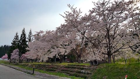 20170429会津美里町まほろば街道沿いの桜