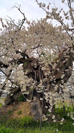 20170429会津美里町千歳桜1