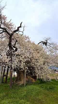20170429会津美里町千歳桜2