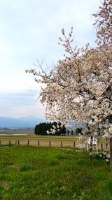 20170429会津美里町千歳桜7