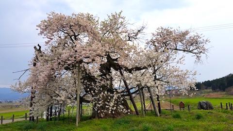 20170429会津美里町千歳桜4