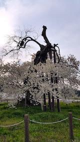 20170429会津美里町千歳桜8