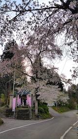 20170429会津美里町虎の尾桜8
